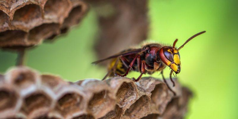 Wespenbestrijding: zo werkt het!